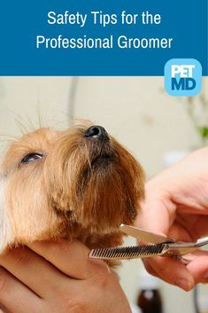 Safety Tips for the Professional Groomer Dog Grooming Salons, Grooming Shop, Dog Grooming Tips, Dog Grooming Business, Schnauzer Grooming, Yorkshire Terrier, Yorkie Haircuts, Safety Tips, Dog Care