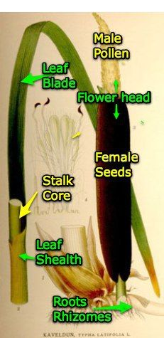A Cattail is regarded as one of the Fantastic 4.  One of 4 plants that could save your life. ~ via http://holeinthefence.net/2010/11/02/wildcrafting-4-the-cats-meow/