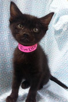 Meet Eva 22513, a Petfinder adoptable Domestic Short Hair Cat | Prattville, AL | Eva is a 7-week old, black, female kitten.Dogs and puppies may be adopted for a fee of $120. All...