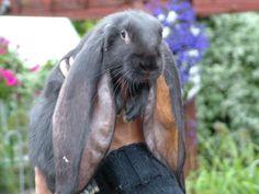 British Giant Rabbits
