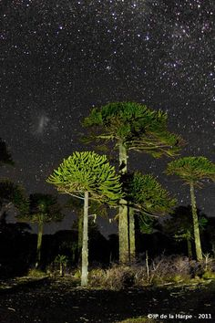 Central Chile, Araucaria trees beneath a starry sky. Places To Travel, Places To Visit, Tree Forest, Outdoor Travel, Amazing Nature, Trees To Plant, Science Nature, South America, Mother Nature