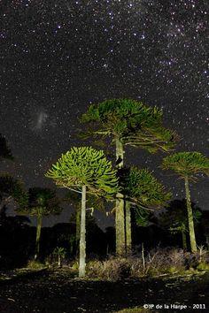 Chile Central , Las Araucarias bajo un cielo estrellado #americacentral #sudamerica