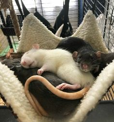 Cute Creatures, Beautiful Creatures, Animals And Pets, Funny Animals, Rat Cage, Fancy Rat, Cute Rats, Tier Fotos, Cute Little Animals