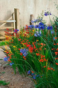 Great combination, but deer eat agapanthus.~~ Devon agapanthus: Agapanthus and crocosmia ~~ Beautiful Gardens, Beautiful Flowers, Crocosmia, Cottage Garden Design, Garden Borders, Colorful Garden, Plantation, Back Gardens, Dream Garden