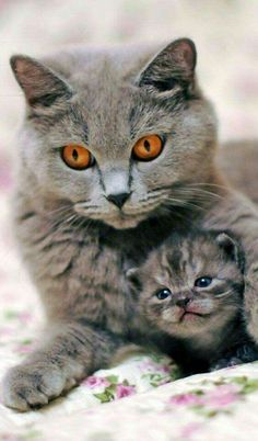 Beautiful eyes. Wonder if kitten will inherit them.
