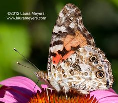 painted lady - - Yahoo Image Search Results
