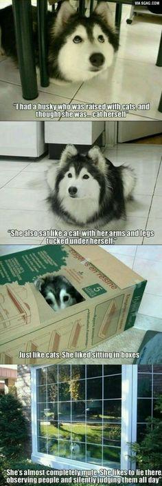Husky raised by cats