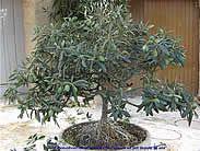 La culture de l'olivier de Provence en pot