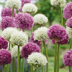 Best in a spot of the garden that has full sun/part shade, this Allium will grow to nearly 3 feet tall for a vibrant, towering flowerbed.
