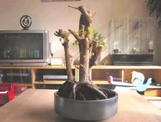 Several months ago the leaves of my ficus tree turned brown, started curling at the edges and then falling off. I asked myself: «Why is my ficus benjamina dying? Ficus Bonsai, Ficus Tree, Plant Care, Indoor, Plants, Gardening, Greenhouses, Avocado, Sculpture