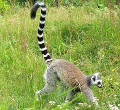 Weibchendominierte Gruppen sind bei etlichen Lemuren, wie beim Katta, üblich.