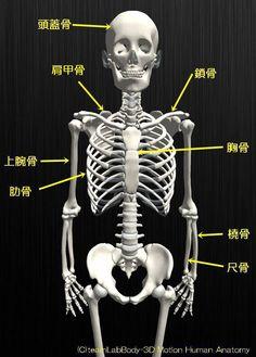 人の骨の名称を解剖のイラスト図上半身正面