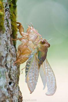 Cicada emergence (Kurt Orionmystery G)