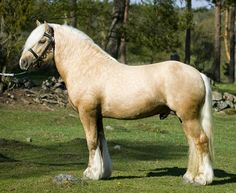 """North Swedish Draft Horse- from wiki -  (Swedish: Nordsvensk brukshäst) is  small heavy horse origin Sweden, considered light draft horse or  """"universal type horse"""", has lighter lines, bred for harness racing, active,  tough, still used for forestry work."""