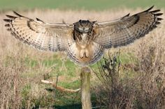 I wish I could have seen this perfect two-point landing by this beautiful owl. via Animals and Birds Owl Photos, Owl Pictures, Owl Bird, Pet Birds, Realistic Owl Tattoo, Brust Tattoo, Owl Wings, Owl Tattoo Design, Great Horned Owl