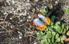 Thysbe Copper | Butterflies and Moths | Seamus' Photo Blog