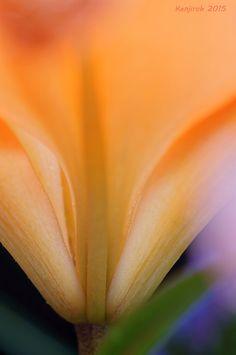 ~~The base of the petals | Orange Lily macro | by Kenjiroh Tukiyama~~