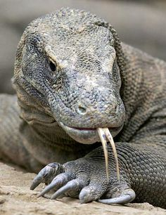 Humans have only known of Komodo dragons' existence for about 100 years. This reptile is the top predator in its range, but dearth of egg-laying females, poaching, human encroachment, and natural disasters has driven Komodo Dragons to endangered status. Reptiles Et Amphibiens, Mammals, Beautiful Creatures, Animals Beautiful, Animals And Pets, Cute Animals, Large Lizards, Tier Fotos, All Gods Creatures