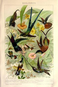 1904 antique HUMMINGBIRDS COLOR LITHOGRAPH by LyraNebulaPrints, $29.50