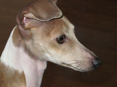 Giuseppe the Italian Greyhound