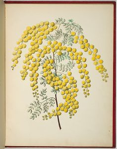 Artist: WALKER, Annie | Title: Acacia spectabilis [mudgee wattle]. | Date: 1887 | Technique: lithograph, printed in black ink, from one ston...