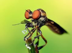 I'm not into bugs, but this guy takes some beautiful images. Robber Fly with Prey (Holcocephala fusca), via Thomas Shanhan flickr.com/photos/opoterser