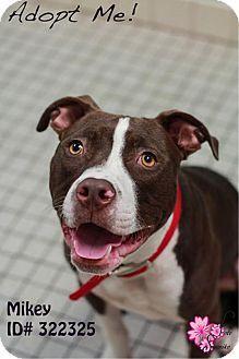 Camden, DE - American Pit Bull Terrier Mix. Meet Mikey, a dog for adoption. http://www.adoptapet.com/pet/11721590-camden-delaware-american-pit-bull-terrier-mix
