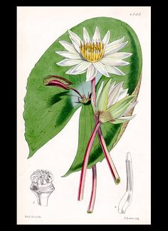 Small-Flowered Water-Lily [nymphæa micrantha] William Curtis (1746-99) from Botanical Magazine 1850