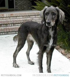 Afador - afghan hound and labrador retriever mix.