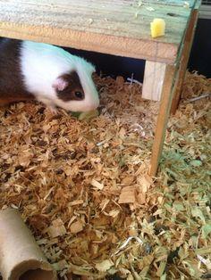 guinea pig enrichment Response