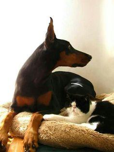 #Doberman and cat