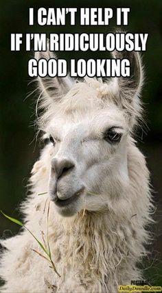 19 Hilarious Llama Pics and Memes - Funny Animal Memes, Funny Animal Pictures, Funny Photos, Funny Animals, Cute Animals, Animal Puns, Animal Funnies, Animal Antics, Farm Animals