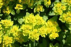 Buy spurge ( polychroma ) Euphorbia epithymoides: Delivery by Crocus