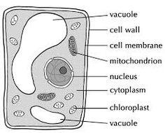 Boas noites!   Queres mais alguma informação extra? Segue-me no #Tumblr e explora outras questões que te podem surgir!  É exatamente no Tumblr que podes ver o short de hoje.   Lembraste de quando falei da #mitose? Não cheguei a falar deste processo em células vegetais... Como deves imaginar tem algumas diferenças, tendo em conta que têm parede celular.  Clica no link e vê como as #plantas crescem!  http://mestrecoy.tumblr.com/post/150644357  #célulasvegetais #paredecelular #biologia
