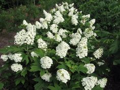 """Oakleaf Hydrangea 'Snowqueen' (the linbked site, """"Natural Landscapes Nursery,"""" also shows two other Oakleaf Hydrangea, 'PeeWee' and 'Alice.'). Oakleaf Hydrangea has stunning fall foliage (burgundy red) so can be enjoyed from spring to fall."""