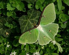 wapiti3:  The Ephemeral Luna Moth on Flickr. Via Flickr: source-pentax forums