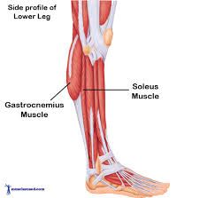 These muscles of the lower leg are crucial in assisting us to walk, run & jump. Find out more about the Gastrocnemius and Soleus (calf) muscles here. Calf Muscle Anatomy, Soleus Muscle, Gastrocnemius Muscle, Calf Pain, Calf Muscles, Side Profile, Muscle Pain, Look In The Mirror, Human Anatomy