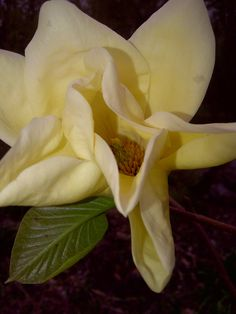 butter yellow magnolias can be a Slow Luxury Star Yellow Magnolia, Four Directions, Magnolias, Mustard, Butter, Luxury, Plants, Magnolia Trees, Mustard Plant