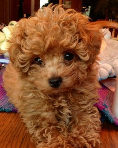 Red toy Poodle Puppies for Sale . 28 Unique Red toy Poodle Puppies for Sale . Our Adorable Poodle Puppy Everything Toy Poodle Puppies, Poodle Mix, Dogs And Puppies, Doggies, Red Poodle Puppy, Toy Poodle Apricot, Rottweiler Puppies, Teacup Puppies, Corgi Puppies