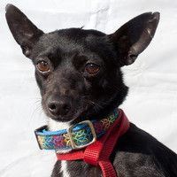 Hello! My name is Fergus. I am a handsome Chihuahua mix. Don't I have the most soulful big eyes? I am approximately 2 years old and weigh around 9 pounds.   http://www.maxfund.org/view-pet-detail/?id=2965