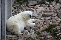 Ranuan eläinpuisto on Suomen pohjoisin eläintarha, jossa asustelee noin 50 villieläinlajia ja 200 eläinyksilöä, muun muassa Suomen ainoat jääkarhut. #ranua #finland Finland Travel, Polar Bear, Tours, Traveling, Animals, Places, Viajes, Animaux, Animales