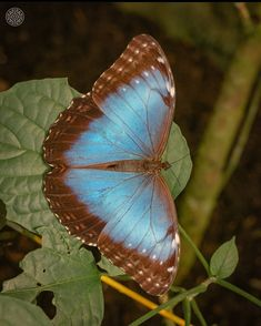 The vibrant Blue Morpho Butterfly Thebutterfly conservatoryvia @rago_photography #CostaRicaExperts#CostaRica#puravida#travelcostarica#crfanphotos#costaricaphoto#costaricagram#costaricapuravida