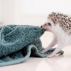 hedgehog with bath towel . . .