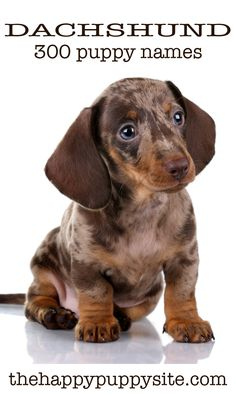 Dachshund Names - 300 Ideas For Naming Your Wiener Dog - Dashund - Puppies Dachshund Breed, Dachshund Funny, Doxie Puppies, Dachshund Love, Chihuahua Dogs, Doggies, Pet Dogs, Dachshund Tattoo, Dachshund Clothes
