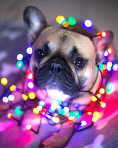 Dogs and Puppies : Dogs - Image : Dogs and Puppies Photo - Description Christmas French Bulldog Sharing is Caring - Hey can you Share this Photo Cute Puppies, Cute Dogs, Dogs And Puppies, Doggies, Christmas Puppy, Christmas Animals, Funny Animals, Cute Animals, Dog Calendar