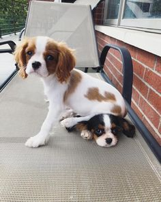 King Charles Puppy, Cavalier King Charles Dog, Spaniel Puppies, Cute Dogs And Puppies, Doggies, Spaniel Breeds, Cavalier King Spaniel, Gato Gif, Cute Baby Animals