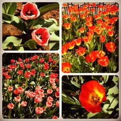 """April 2: The """"color"""" of spring in Chicago. These tulips run up and down State Street. #PhotoADayApril"""