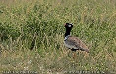Black bustard ( #Mabuasehube area, Botswana side) @ Kgalagadi Transfrontier Park in #SouthAfrica. See our #Kgalagadi travel guide: http://www.safaribookings.com/kgalagadi