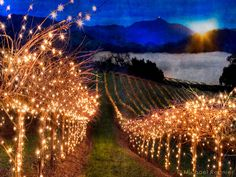 Christmas Vineyard