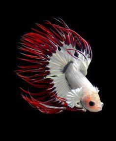 Betta fish picture - beautiful!